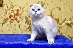 Шотландская вислоухая кошка. Под заказ