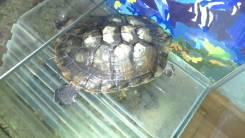 Черепаха красноухая.