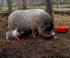 Свиньи.