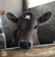 Коровы. Под заказ