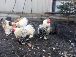 Продажа кур в приморском крае спасск дальний