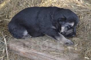 Восточно-европейская овчарка. Под заказ