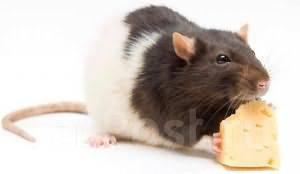 Дератизация! Уничтожение мышей, крыс! Договор! Качество! Результат!