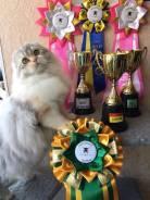 Гигиеническая и модельная стрижка кошек, подготовка к выставке.