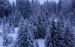 Живая новогодняя елка пихта оптом. Под заказ