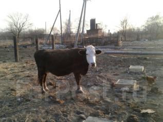 Куплю корову на племя объявления дать объявление бесплатно г.кумертау