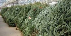 Продам живые елки ( пихта)