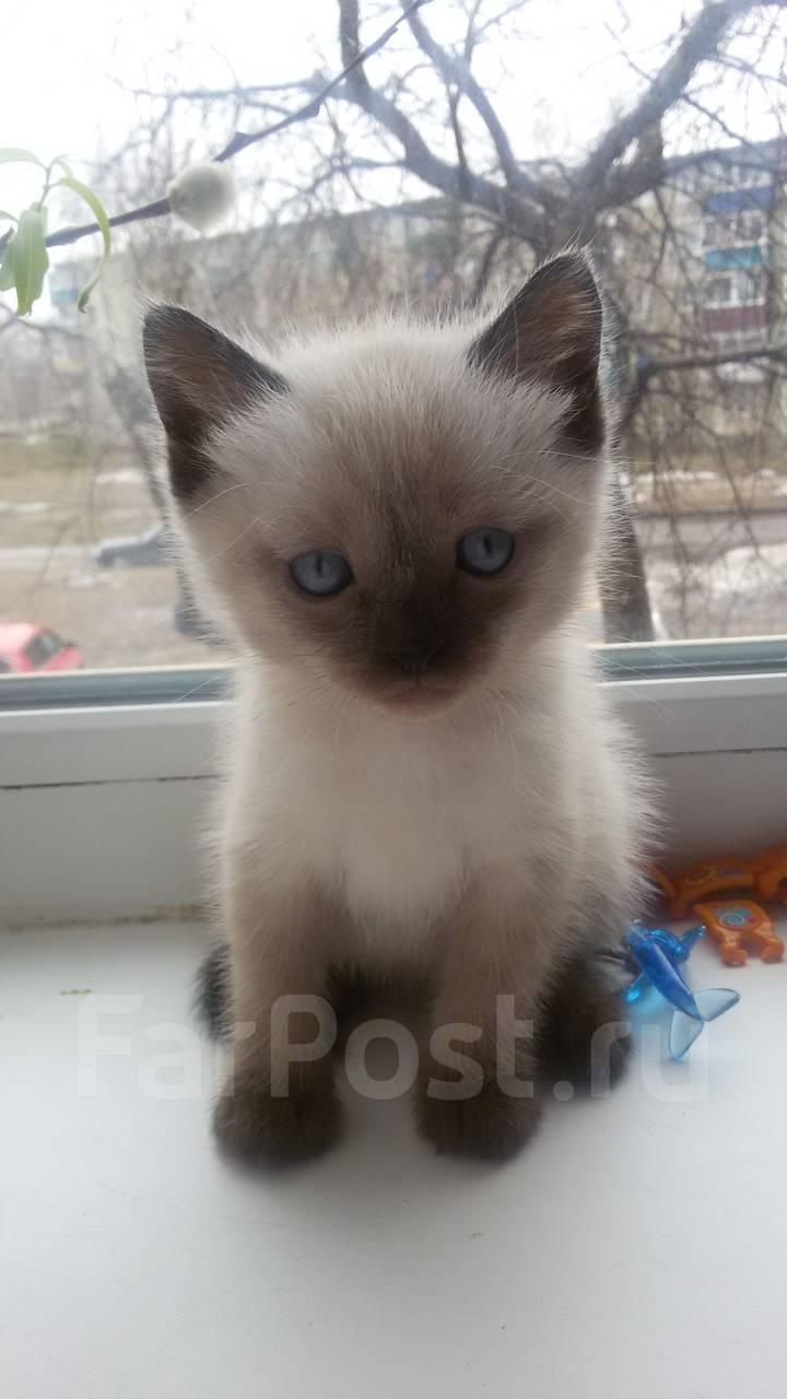 карликовый сиамский котенок тольятти купить
