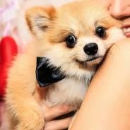 Собака Шпиц в аренду для фотосессии в студии