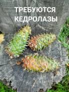 Шишкарь-кедролаз-шишкарь. ООО Лесник. Приморский край