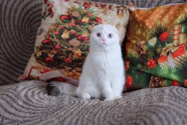 Шотландская вислоухая кошка.