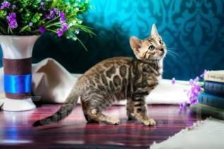 Бенгальская кошка. Под заказ