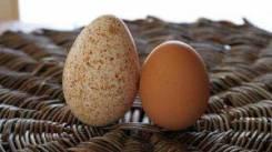 Яйцо индюшиное.