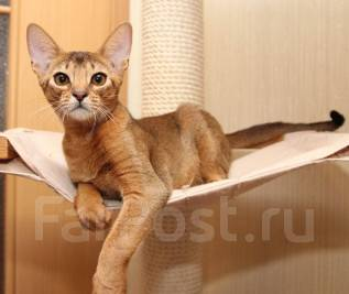 Абиссинская кошка. Под заказ