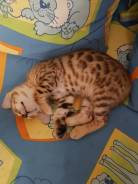 Продается бенгальский котенок