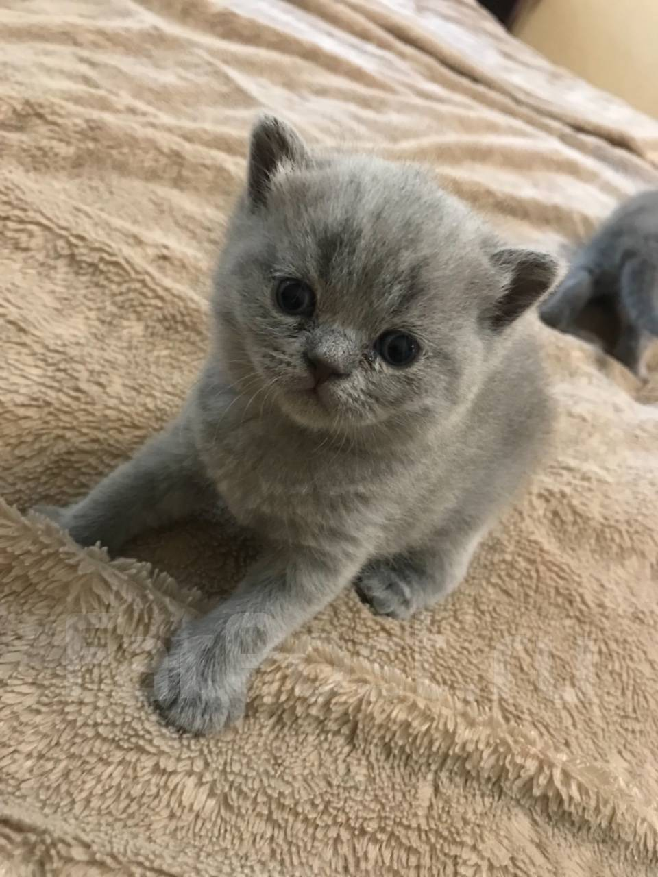 форпост артем продажа котят