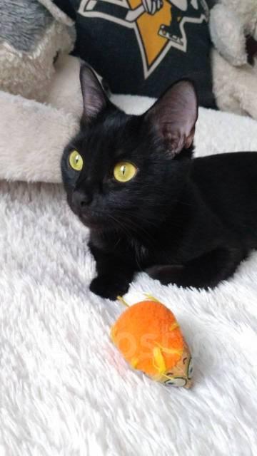 Бомбейская кошка.