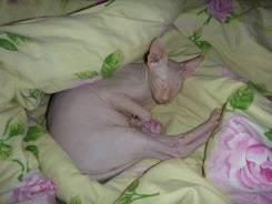Опытный котик сфинкс с документами ждёт на вязку