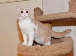 Британская кошка. Под заказ из Владивостока
