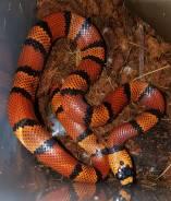 Молочная змея гондурасская.