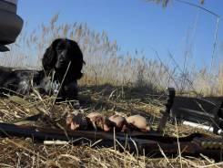 Русский охотничий спаниель.