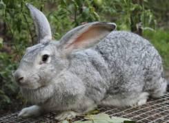 Продам на развод кроликов, уток и гусынь