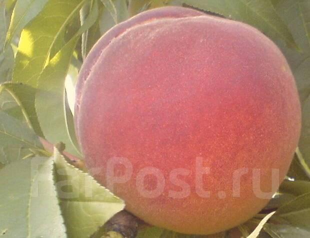 Продаю-черенки для прививок фруктовых деревьев -слива персик