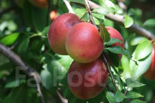 Яблоня.