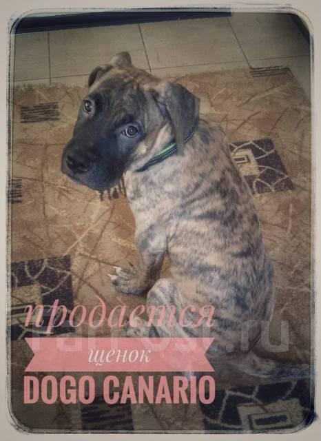 Dogo canario( мальчик). Продается щенок редкой породы.