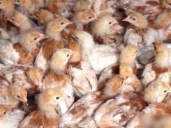 Цыплята - куры, гуси, утки, бройлеры, индюки. Под заказ