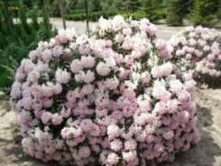 Азалия садовая.