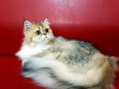 Груминг кошек! Стандарт! Пэт-стрижка! Подготовка к выставке кошек!
