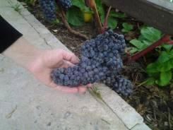 Виноград амурский.