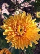 Хризантема.