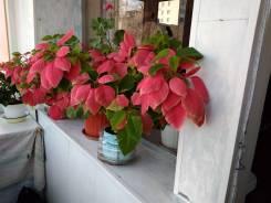 Продам цветок пуансеттия