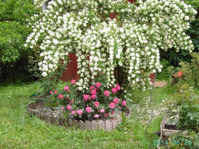 Жасмин садовый.