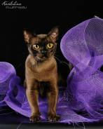 Бурманская кошка. Под заказ