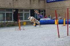 Дрессировка собак: послушание, ОКД, коррекция поведения, аджилити