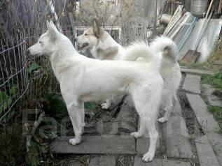 Восточно-сибирская лайка.