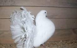 Куплю голубей павлины, декоративная порода