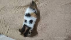 Котёнок =) с окрасом Калико