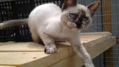 Тайская кошка.