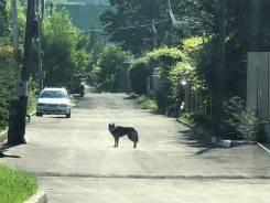 Собака порода Хаски. Сука, средних лет.