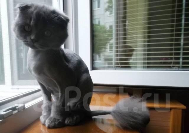 Шотландская вислоухая длинношерстная кошка.