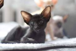 Ориентальная кошка. Под заказ