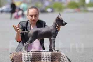 Мексиканская голая собака.