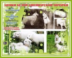 Белая швейцарская овчарка.