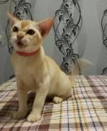 Бурманская кошка.