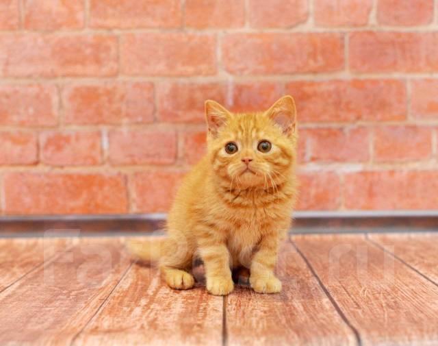 Британская кошка. Под заказ