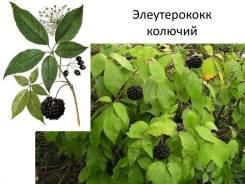 Элеутерококк колючий (сибирский женьшень)